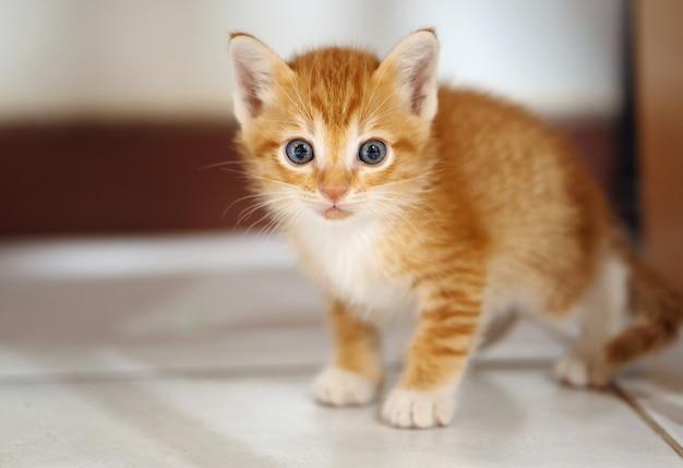 Gatinho tailandês laranja e branco, 1 mês de idade, em pé na casa.
