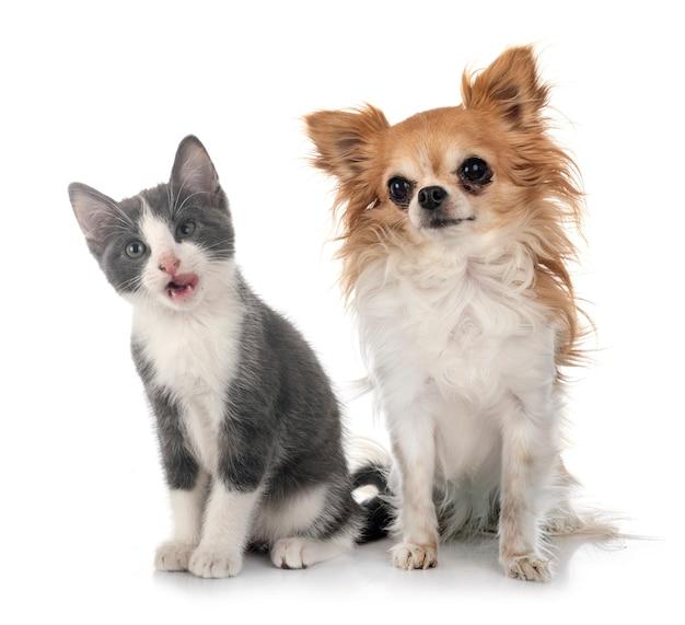 Gatinho vadio e chihuahua em frente ao estúdio branco