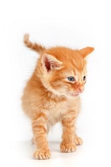 Gatinho vermelho bonito com olhos azuis