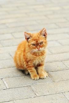 Gatinho vermelho com olhos amarelos