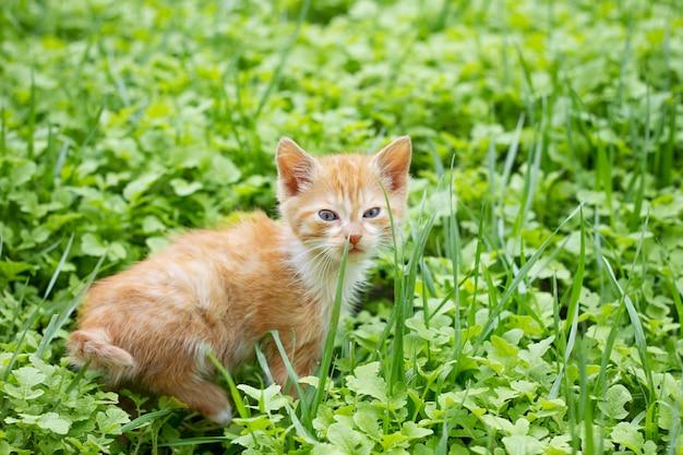 Gatinho vermelho na grama verde, animais de estimação