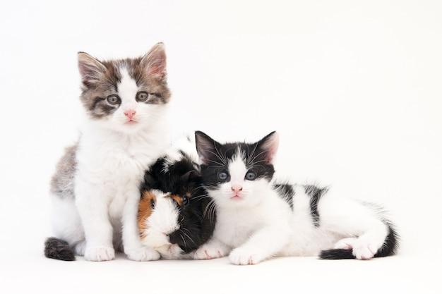 Gatinhos adoráveis com cabelo crespo sentados em uma superfície branca com duas cobaias