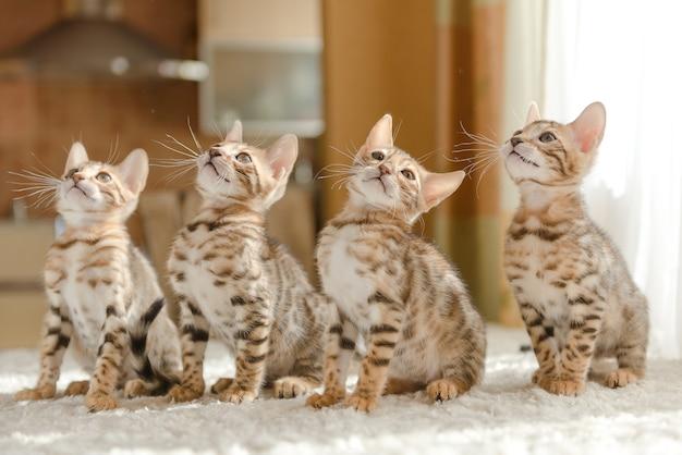 Gatinhos de bengala sentados no sofá da casa
