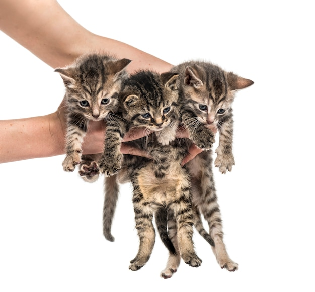 Gatinhos levantados por mãos humanas, isoladas no branco
