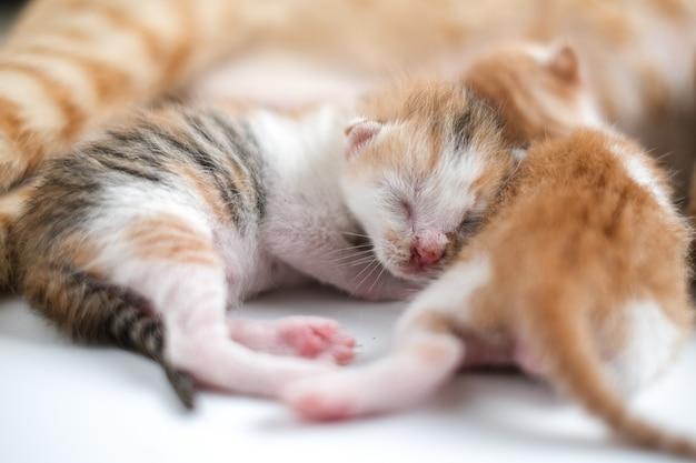 Gatinhos recém-nascidos bebem o leite da mãe contra um fundo branco
