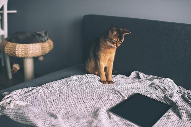 Gato abissínio assistindo na tela do tablet