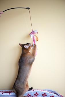Gato abissínio brincando com um brinquedo