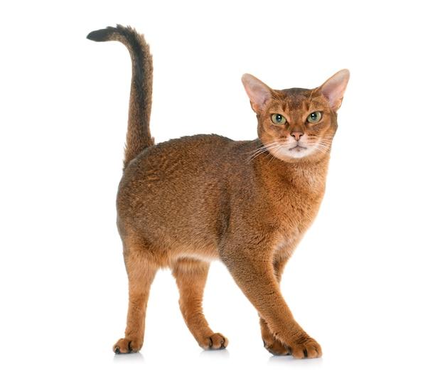 Gato abissínio isolado