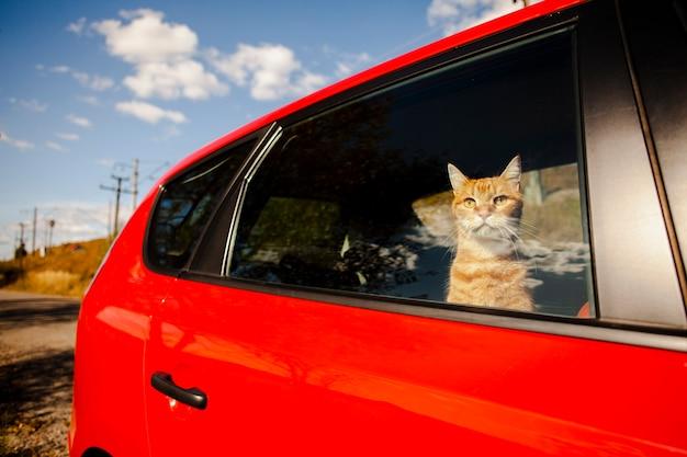 Gato adorável, olhando o céu de um carro
