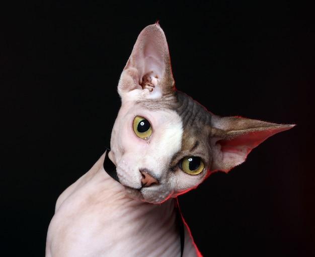 Gato adorável sem cabelo