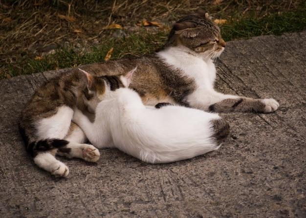 Gato adulto alimentando o gatinho. família animal Foto Premium