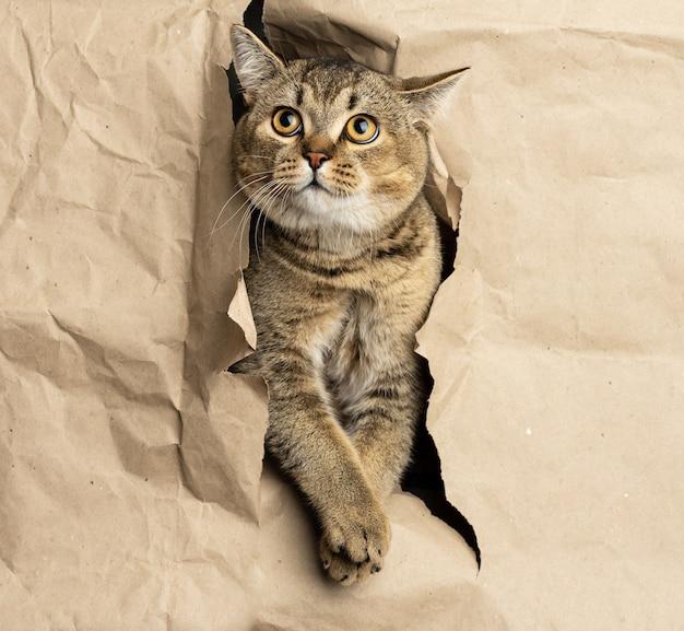Gato adulto cinza de orelhas retas espreitando de um buraco em papel pardo, focinho engraçado