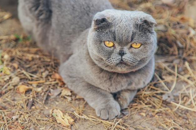 Gato adulto de raça escocesa.