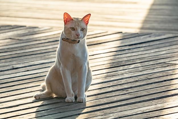 Gato asiático macho gordo deitado no chão de madeira com luz de exposição atrás.