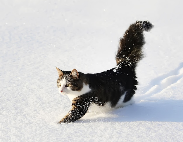 Gato ativo jovem preto e branco, andando na neve.