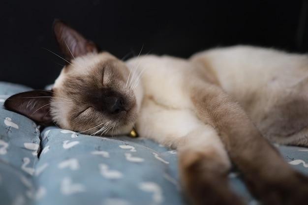 Gato bege marrom. gato siamês descansando no chão