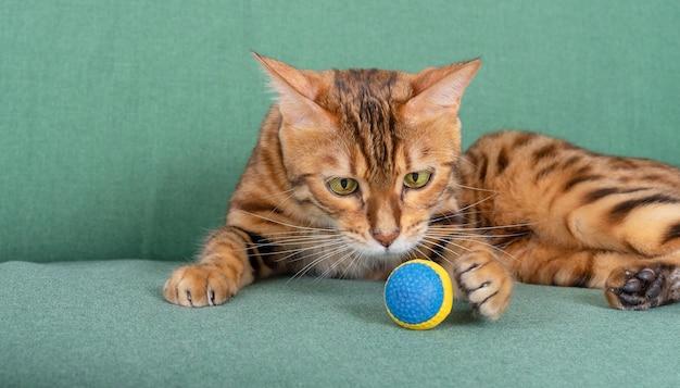 Gato bengala brinca com bola no sofá da sala de casa. diversão para animais de estimação