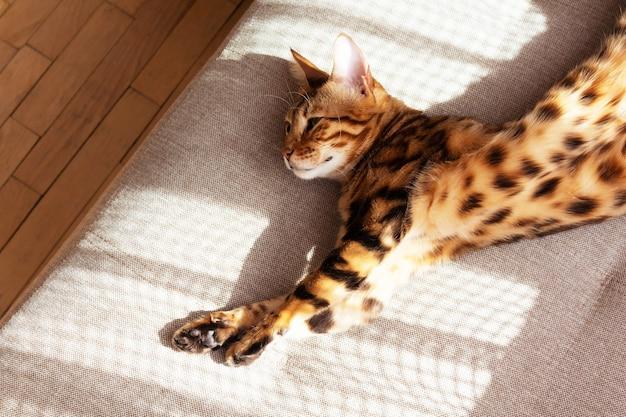 Gato bengala deitado no sofá e descansando