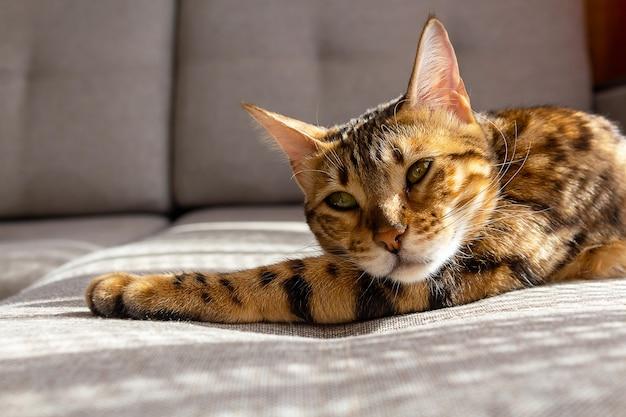 Gato bengala descansando no sofá cópia espaço