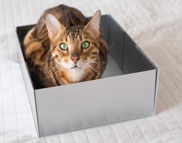 Gato bengala engraçado se esconde em uma caixa de papelão na cama na superfície de uma parede branca,