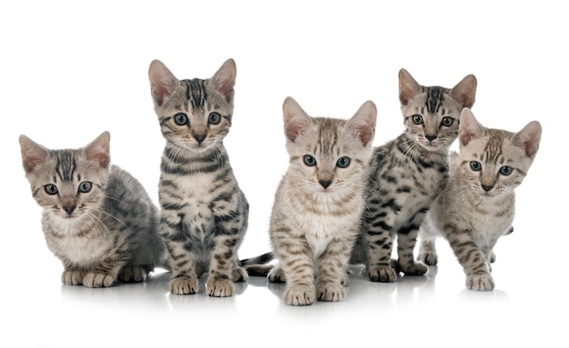 Gato bengala isolado