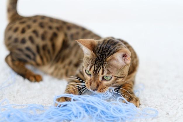 Gato bengala puro-sangue brincalhão focado brincando com lã. estilo de vida de companheiros de animais peludos. fundo branco