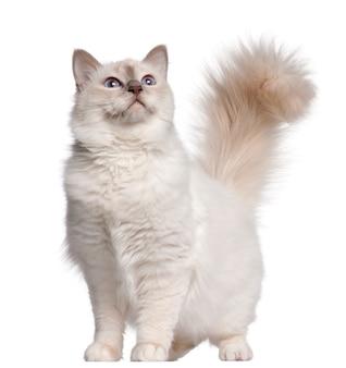 Gato birman, 11 meses, em pé