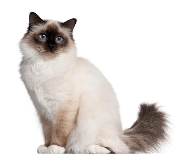Gato birman, 11 meses, sentado