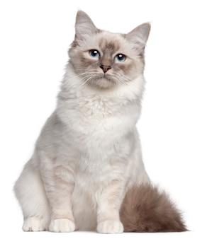 Gato birman, 9 meses de idade, sentado