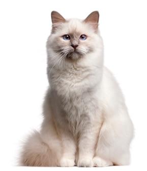 Gato birman, 9 meses,