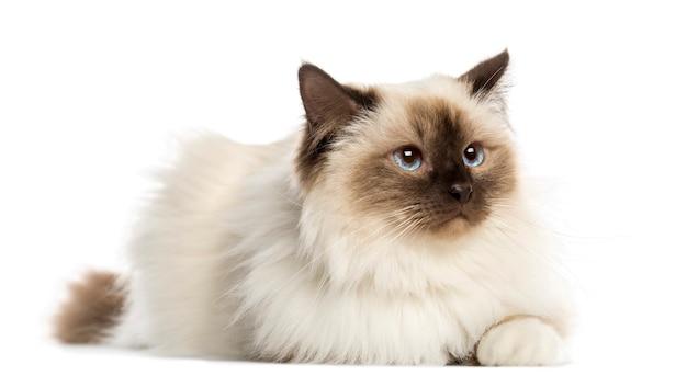 Gato birman, deitado, isolado no branco