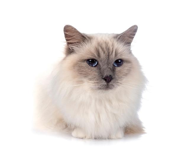 Gato birman em frente ao fundo branco