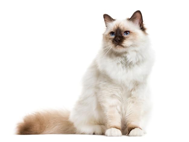 Gato birman sentado, isolado no branco