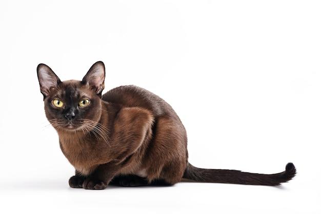Gato birmanês em branco