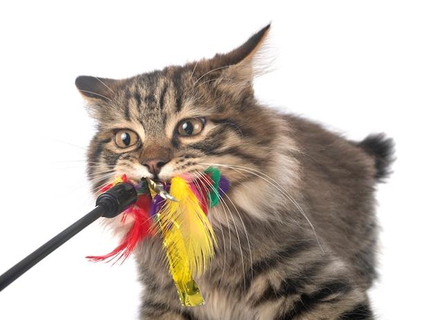 Gato bobtail kurilian brincando com brinquedo isolado