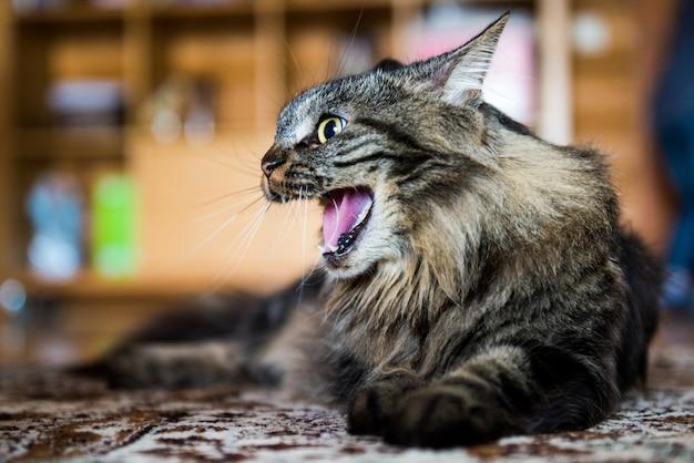 Gato bocejando no chão. gato bravo.