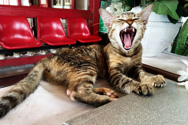 Gato bocejando