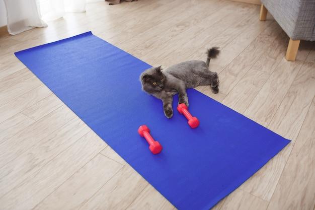 Gato bonito brincando com halteres fitness no chão