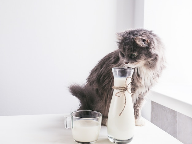 Gato bonito, cinzento, bebendo leite fresco