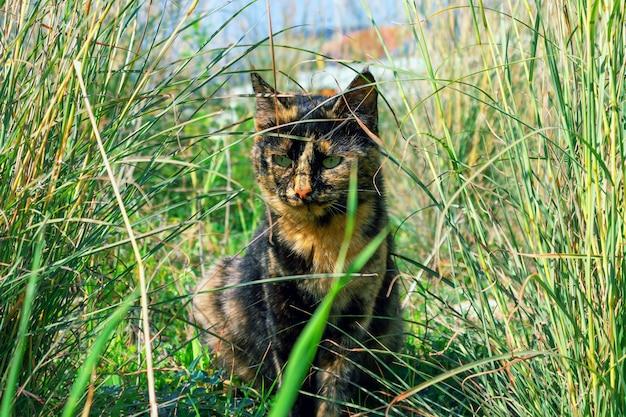 Gato bonito, cor de concha de tartaruga incomum, escondendo-se na grama grossa.