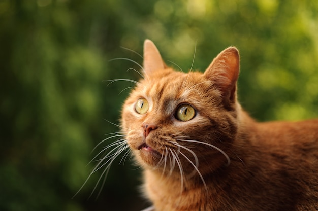 Gato bonito cor de gengibre, olhando com olhos grandes