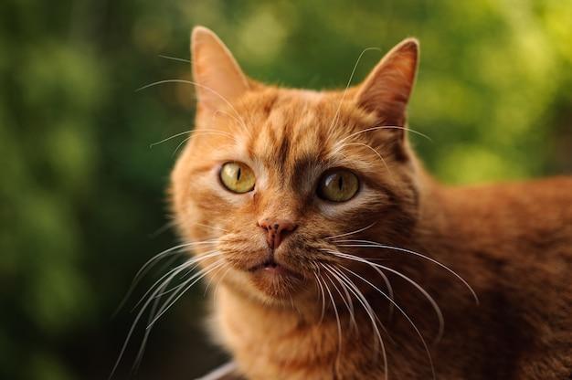 Gato bonito cor de gengibre, olhando para a câmera
