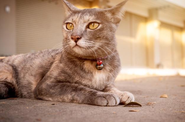 Gato bonito deitado no chão de cimento à procura de algo. com olhos amarelos de gato e um bigode espesso. fechar-se.