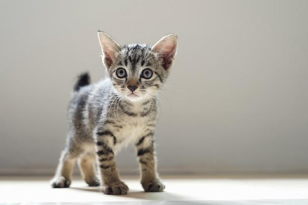 Gato bonito em pé na sala e luz de manhã