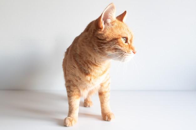 Gato bonito gengibre olhando curiosamente sobre fundo branco. copyspace para seu texto. adorável fotografia de arquivo de animais domésticos