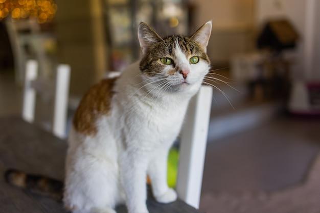 Gato bonito sentado na cadeira branca na sala, close-up.