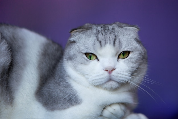Gato branco britânico dobra-scottish shorthair gato sobre um fundo azul. dobra britânica de gato branco