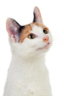 Gato branco com lindos olhos castanhos