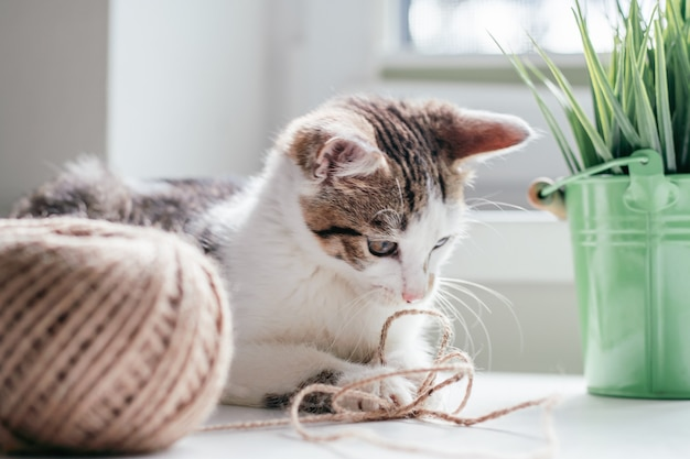 Gato branco com listras cinza 3-4 meses brinca com novelo de corda de juta ao lado de bola e planta de casa. gatinho brincalhão sem raça