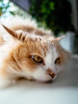 Gato branco com manchas laranja, deitado no peitoril da janela